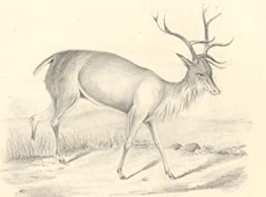T.B.W - Mid 19th Century Graphite Drawing, Study of a Stag