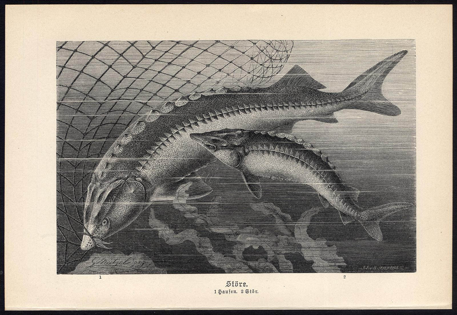 Antique Print-STURGEON-FISH-Brehm-1890