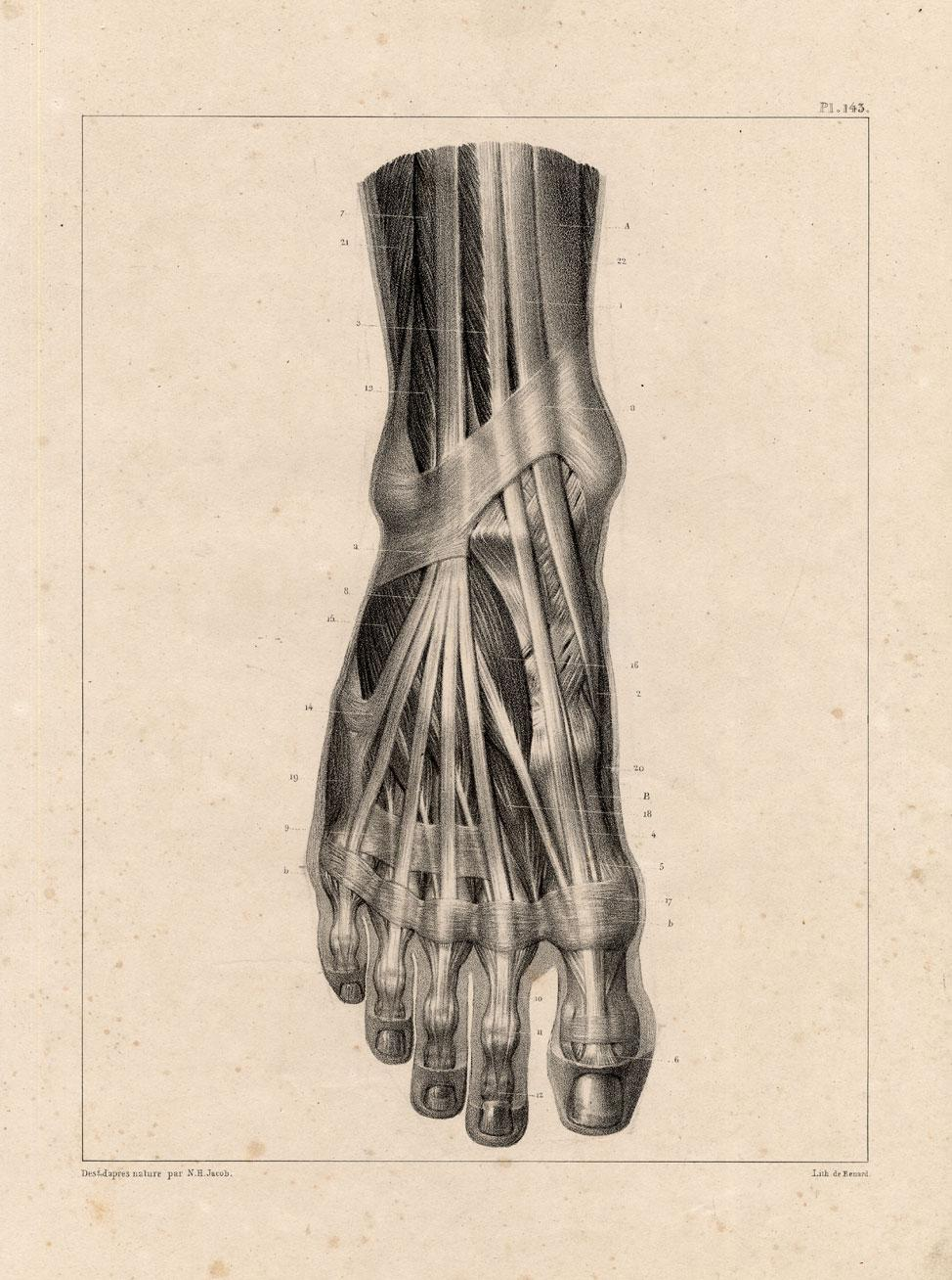 4 Antique Medical Anatomy Prints Muscles Leg Foot Toe Bourgery 1831