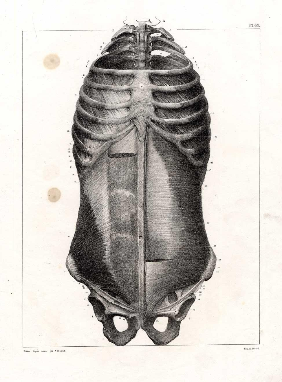 2 Antique Medical Anatomy Prints-MUSCLES-RIBS-TORSO-Bourgery-1831 ...