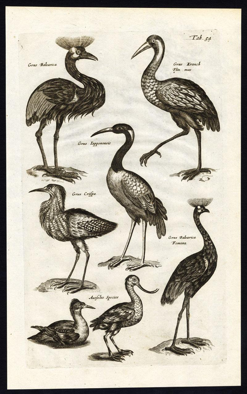 Antique Print-CRESTED CRANE-RED CROWNED CRANE-AVOCET-GRUS-Jonston-Merian-1657 Tab 54: This plate shows various birds; Grus Balearica (Crested Crane) - Grus, Kranich (Common crane) - Grus Lapponensis (Red-crowned Crane) - Grus Cr