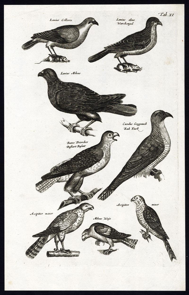 Antique Print-CUCKOO-SHRIKE-BUZZARD-HAWK-BIRDS OF PREY-Jonston-Merian-1657