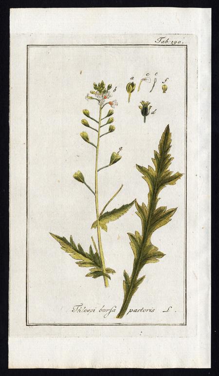 Antique Botanical Print-CAPSELLA BURSA PASTORIS-THLASPI-SHEPHERD PURSE-Zorn-1796   [ ] (bi_22589553281) photo