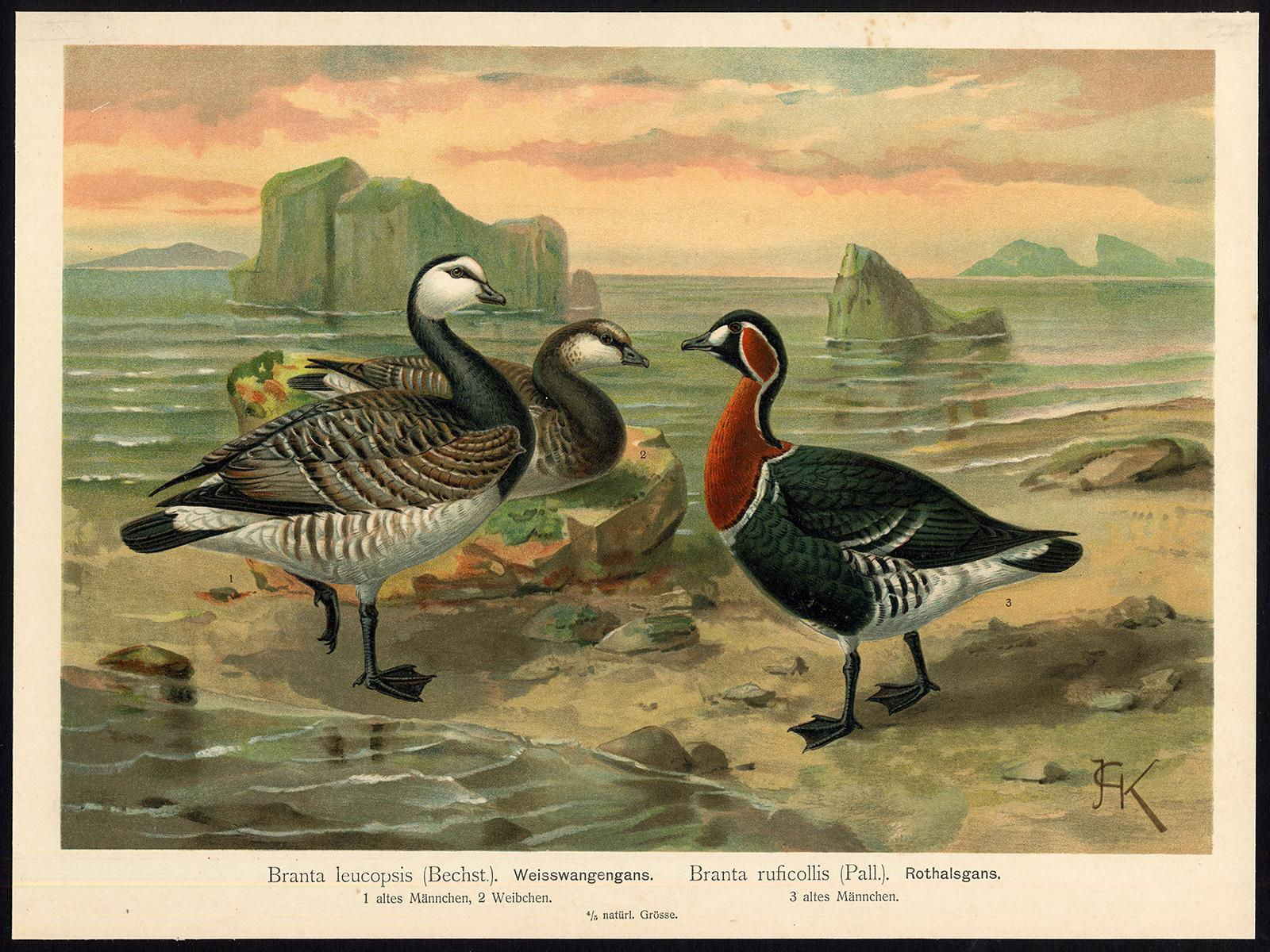 Antique Bird Print-BARNACLE-RED BREASTED-GOOSE-GANS-Plate IX.27-Naumann-1896   [ ] (bi_22589559473) photo