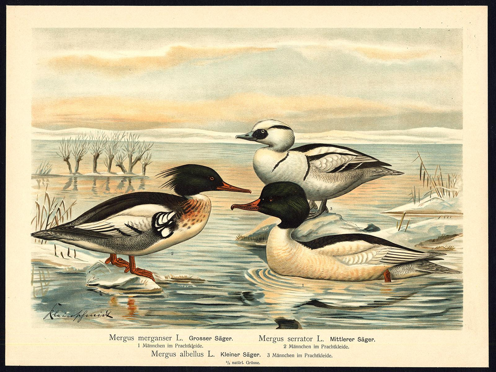 Antique Bird Print-COMMON-RED BREASTED MERGANSER-SMEW--Plate X.27-Naumann-1896   [ ] (bi_22589559497) photo