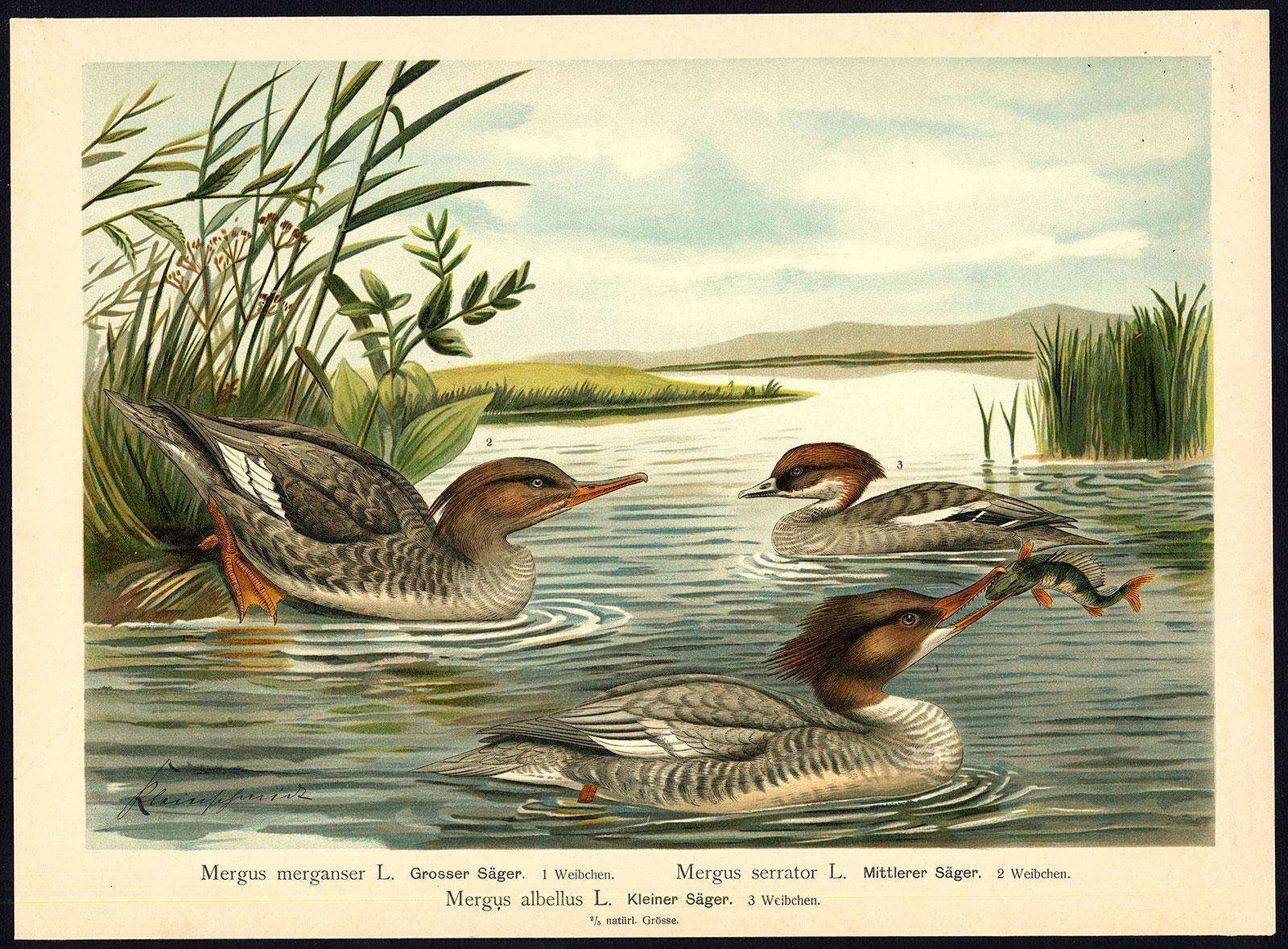 Antique Bird Print-COMMON-RED BREASTED MERGANSER-SMEW--Plate X.28-Naumann-1896   [ ] (bi_22589559498) photo
