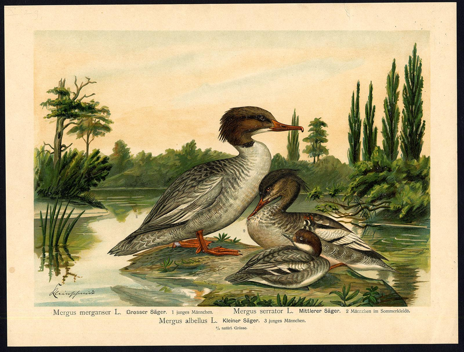 Antique Bird Print-COMMON-RED BREASTED MERGANSER-SMEW--Plate X.29-Naumann-1896   [ ] (bi_22589559499) photo
