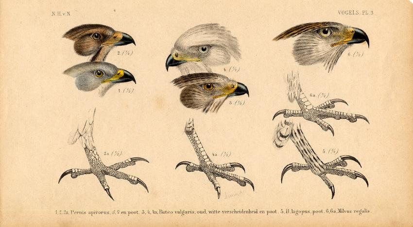Antique Print-BIRDS OF PREY-BUZZARD-KITE-Schlegel-1878