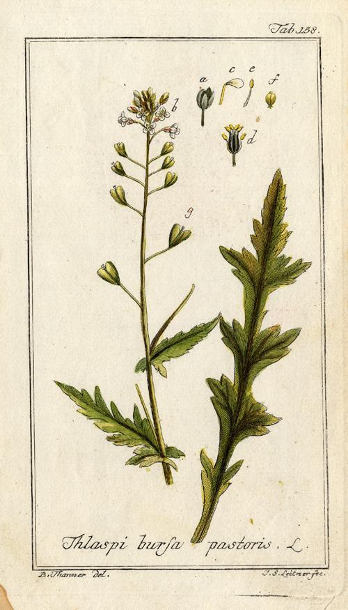 Antique Botanical Print-SHEPHERD'S PURSE-CAPSELLA-Zorn-1780   [ ] (bi_22589563319) photo