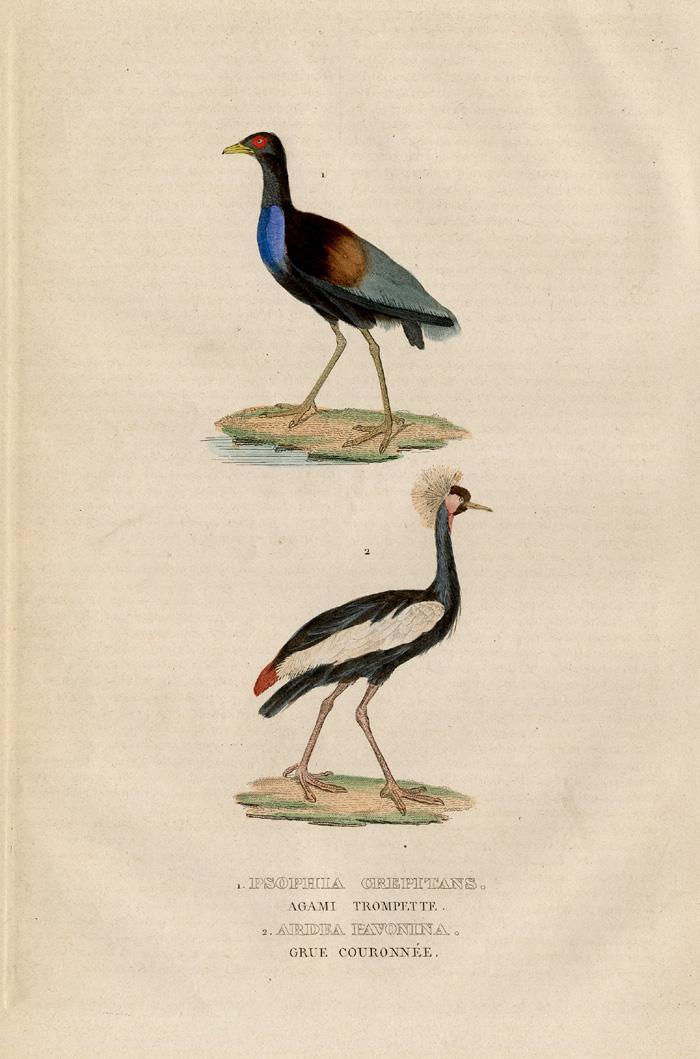 Antique Print-GREY WINGED TRUMPETER-CRANE-Drapiez-1853 1. Psophia crepitans - Agami trompette, 2. Ardea pavonina - Grue couronnee.' (1. Grey-winged Trumpeter, 2. Black Crowned Crane, Kaffir Crane.) Engravi