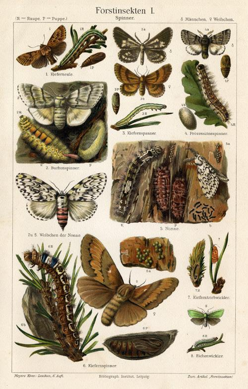 Antique Prints-FOREST INSECTS-CATERPILLAR-Meyers-1900