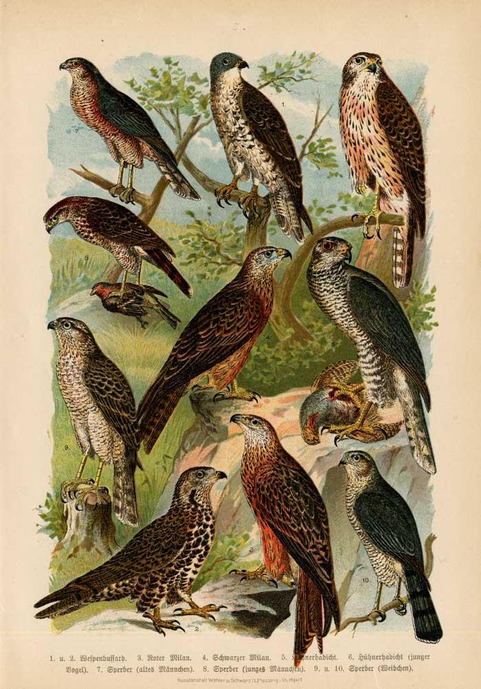 Antique Print-HONEY BUZZARD-GOSHAWK-KITE-Specht-1890