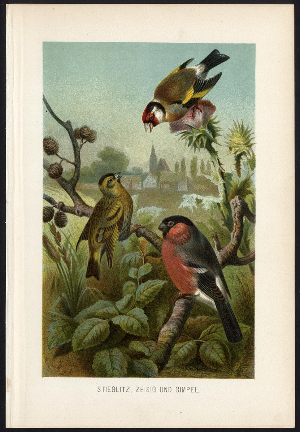 Antique Print-GOLDFINCH-BULLFINCH-FINCH-Brehm-1890