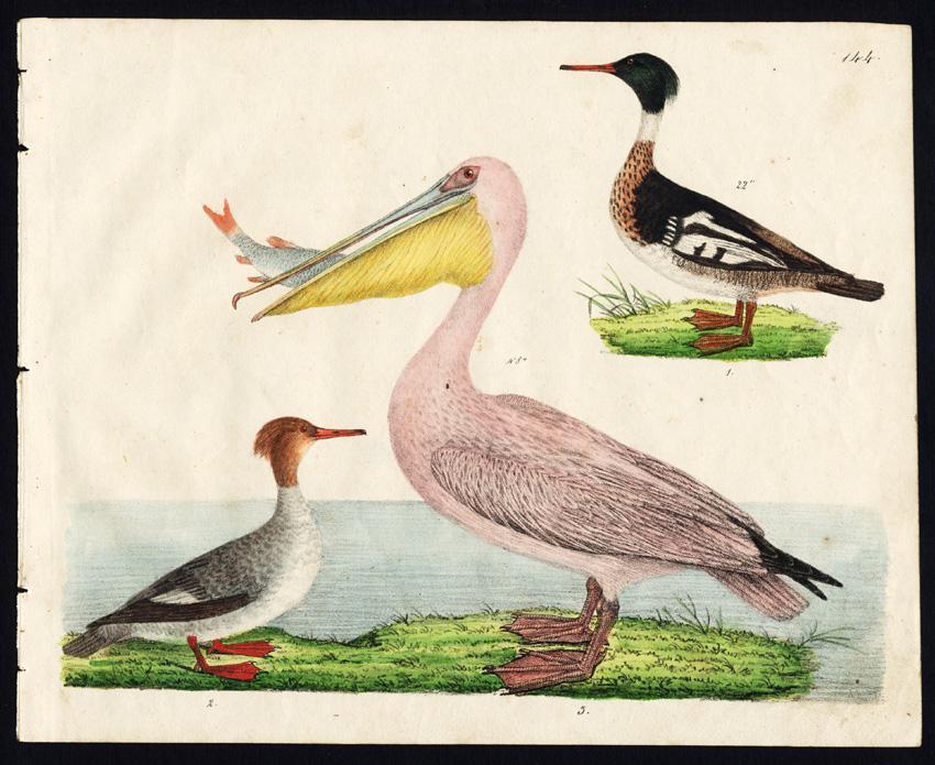 Rare Antique Bird Print-RED BREASTED MERGANSER-GREAT WHITE PELICAN-Strack-1819   [ ] (bi_22589569716) photo