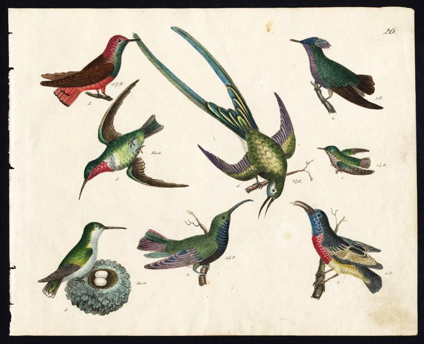 Rare Antique Bird Print-RUBY NECKED HUMMINGBIRD-RED BREASTED CREEPER-Strack-1819   [ ] (bi_22589569727) photo