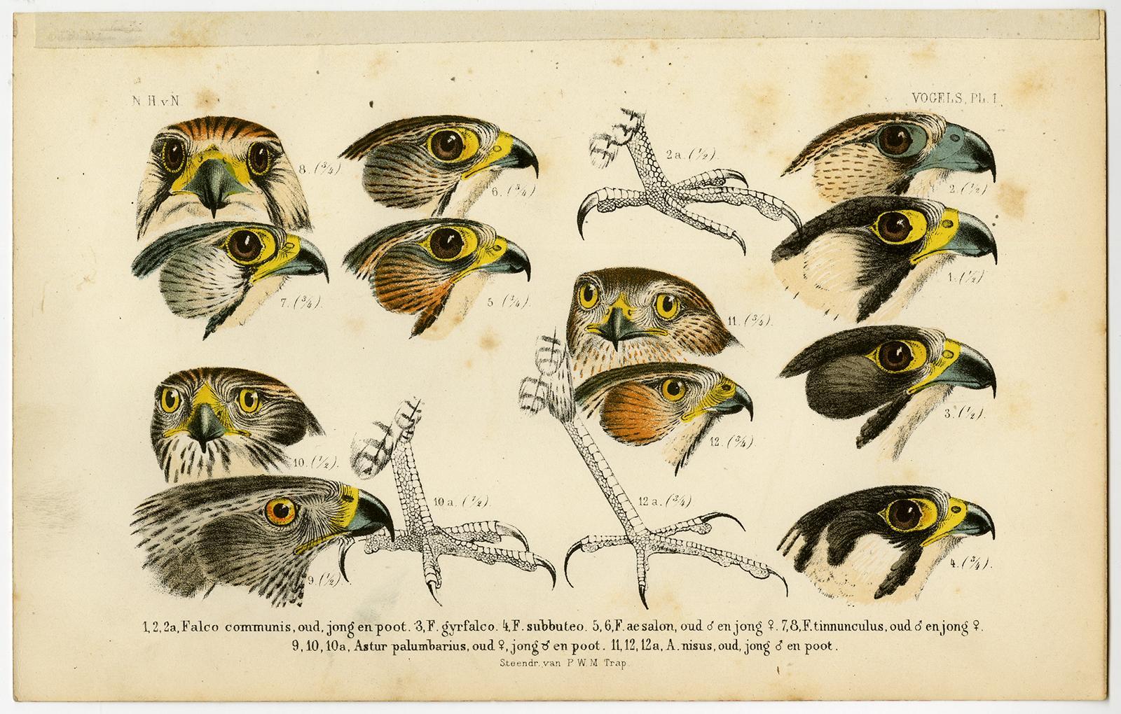 Antique Print-BIRDS OF PREY-FALCON-HAWK-KITE-PL. 1-Schlegel-1878