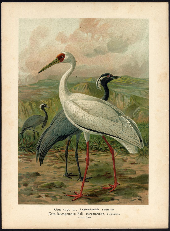 Antique Bird Print-DEMOISELLE CRANE-SIBERIAN WHITE CRANE-SNOW CRANE-Naumann-1896 Plate 8: 'Grus virgo / Grus leucogeranus - Jungfernkranich / Monchskranich.' (Anthropoides virgo - Demoiselle Crane, old male / Siberian White Crane o