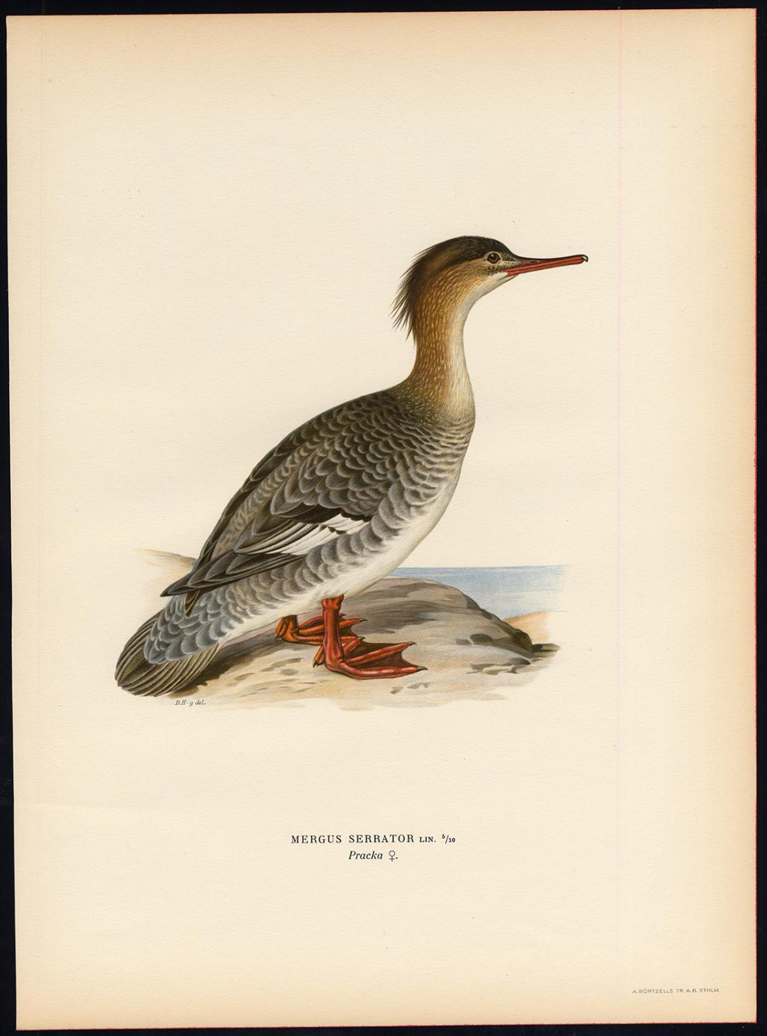 Antique Print-MERGUS SERRATOR-RED BREASTED MERGANSER-DUCK-FEMALE-Von Wright-1917   [ ] (bi_22589596554) photo