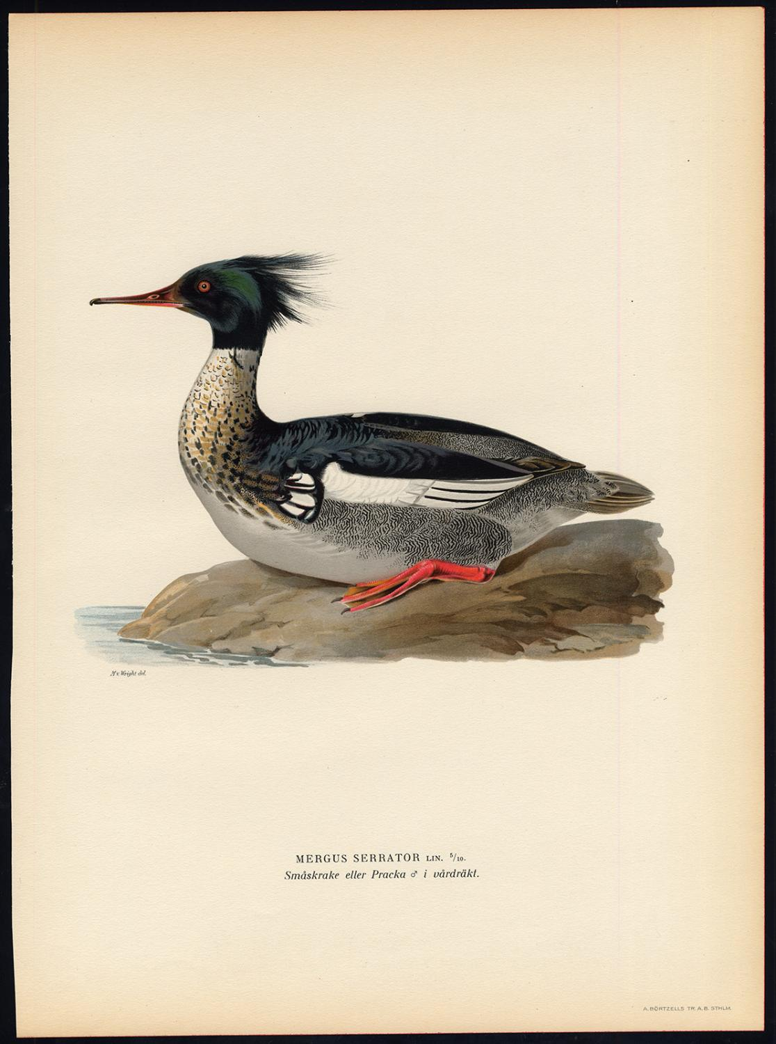 Antique Print-MERGUS SERRATOR-RED BREASTED MERGANSER-DUCK-III-Von Wright-1917   [ ] (bi_22589596556) photo
