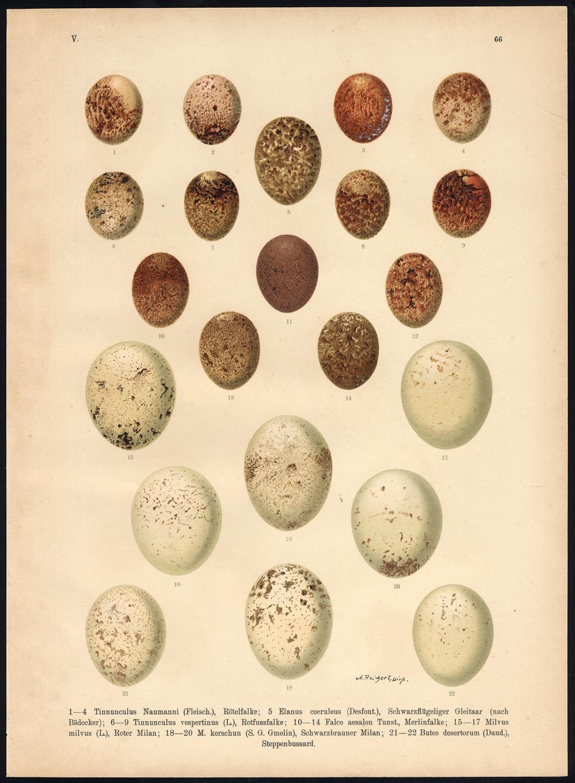 Antique Print-BIRD OF PREY-EGGS -PLATE 66-Naumann-1896