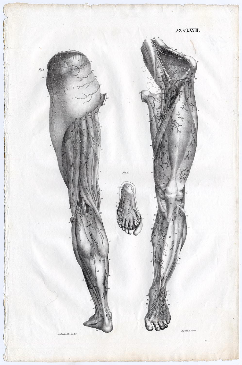 Antique Print Human Anatomy Artery Blood Vessel Leg Foot Clxxiii