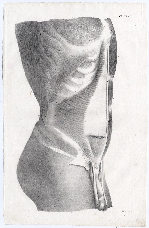 Antique Print Human Anatomy Torso Male Stomach Penis Muscles Lxxiv
