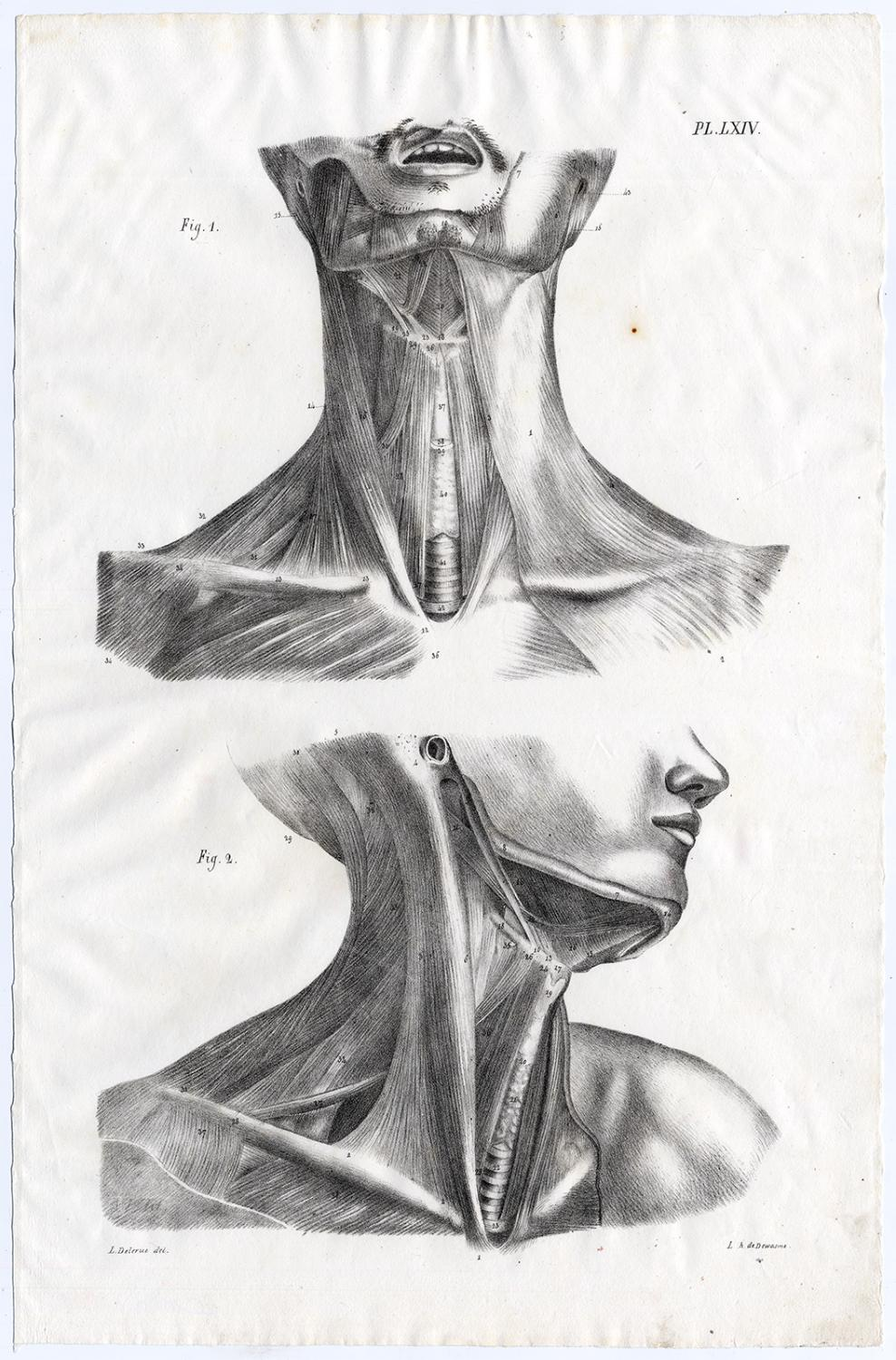 Antique Print Human Anatomy Neck Shoulders Throat Muscles Lxiv