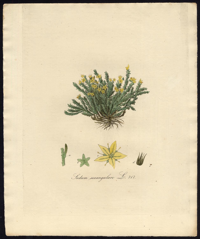 Antique Print-SEDUM SEXANGULARE-TASTELESS STONECROP-Sepp-Flora Batava-1800   [ ] [Softcover] (bi_22589603448) photo