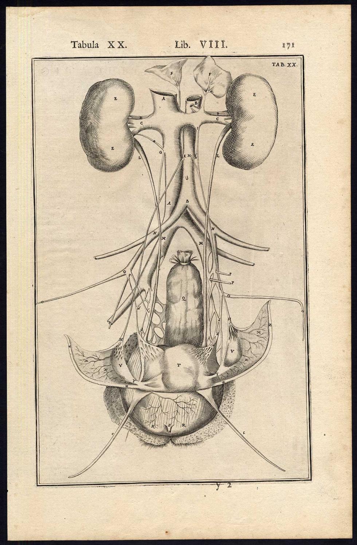 viaLibri ~ 2 Anatomical Prints-ORGANS-FEMALE-KIDNEY-WOMB-BLADDER ...