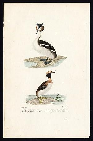 Antique Bird Print-CRESTED GREBE-HORNED GREBE-Buffon-Travies-1837