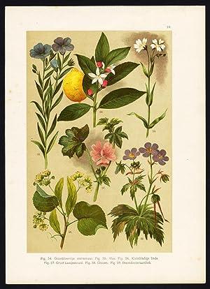 Antique Print-ADDERSMEAT-FLAX-LINSEED-MALLOW-LEMON-CRANESBILL-LIME-Oudemans-1900
