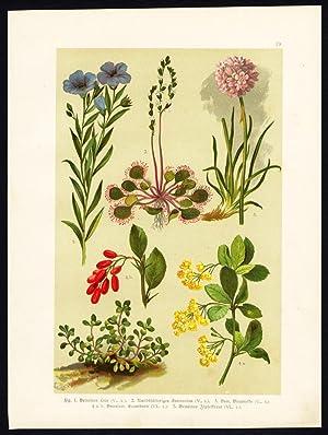 Antique Print-FLAX-LINSEED-SUNDEW-SEA THRIFT-BARBERRY-SPATULALEAF-Hoffmann-1890