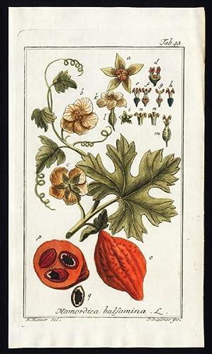 Antique Botanical Print-MOMORDICA BALSAMINA-BALSAM APPLE-Zorn-1796