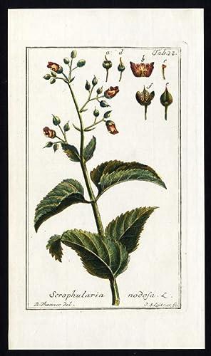 Antique Botanical Print-SCROPHULARIA NODOSA-WOODLAND FIGWORT-COMMON-Zorn-1796