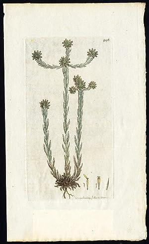 Antique Botany Print-COMMON CUDWEED-GNAPHALIUM-Smith-Sowerby-1810