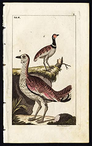 Antique Print-BIRD-GREAT BUSTARD-LITTLE-PLATE II-Wilhelm-1810