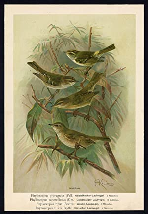 Antique Bird Print-WARBLER-WILLOW-CHIFF CHAFF-SIBERIAN--Plate II.5-Naumann-1896