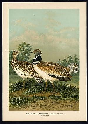 Antique Bird Print-LITTLE BUSTARD-ZWERGTRAPPE-Plate VII.6-Naumann-1896