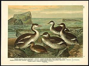 Antique Bird Print-CRESTED-BLACK-NECKED-HORNED-GREBE--Plate XII.8-Naumann-1896