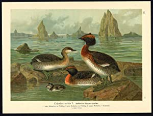 Antique Bird Print-HORNED GREBE-LAPPENTAUCHER-Plate XII.10-Naumann-1896