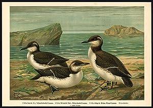 Antique Bird Print-MURRE-GUILLEMOT-LUMME-URIA-Plate XII.19-Naumann-1896
