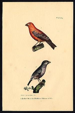 Antique Print-PINE GROSBEAK-JAVA SPARROW-PLATE 43 BIS-Buffon-Lejeune-1828