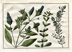 Antique Botany Print-RUELLIA-WILD PETUNIA-Houttuyn-1774
