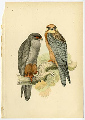 Antique Print-ORNITHOLOGY-CERCHNEIS-RED FOOTED FALCON-Csorgey-1908