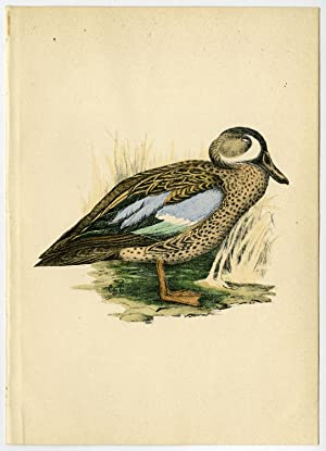 Antique Print-ORNITHOLOGY-BLUE WINGED TEAL-DABBLING DUCK-Csorgey-1908