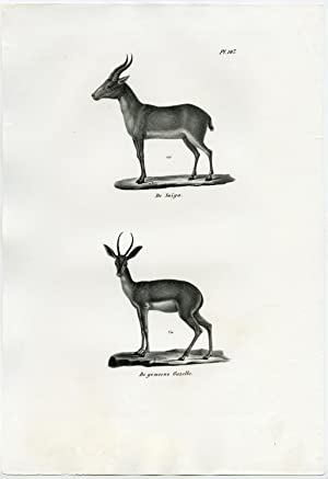Antique Print-GAZELLE-SAIGA ANTELOPE-PL. 147-Schinz-Brodtmann-1845