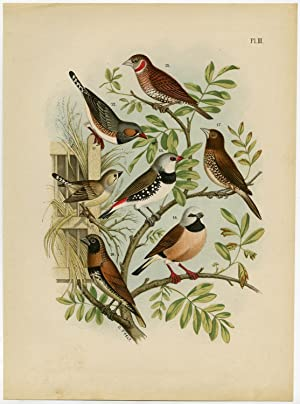 Antique Print-EXOTIC BIRDS-FINCH-PLATE 3-Nuyens-t' Felt-1882