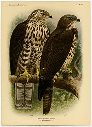 Antique Print-EUROPEAN HONEY BUZZARD-PERNIS APIVORUS-PLATE 101-Van Oort-1922