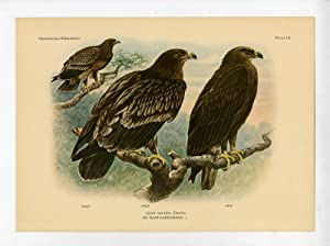 Antique Print-GREATER SPOTTED EAGLE-CLANGA CLANGA-PLATE 111-Van Oort-1922