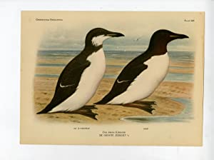 Antique Print-URIA LOMVIA-THICK BILLED MURRE-AUK-PLATE 229-Van Oort-1922